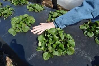 Как правильно посадить клубнику на черное агроволокно