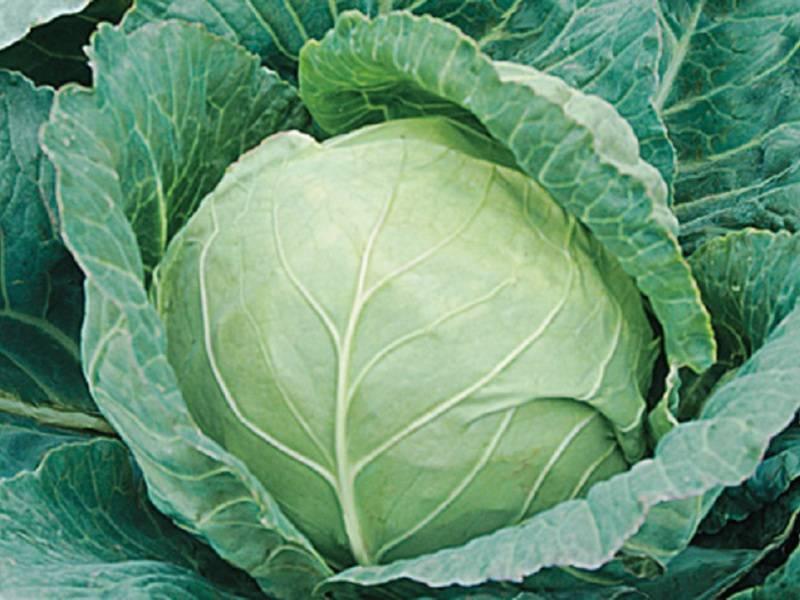 Капуста этма: характеристика сорта, выращивание и уход