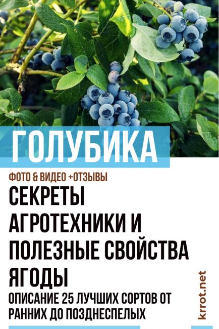 Голубика высокорослая: описание популярных сортов и особенности выращивания культуры