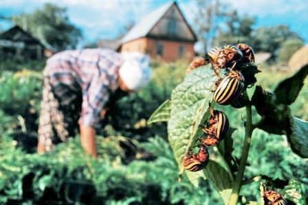 Колорадский жук на картофеле: методы борьбы