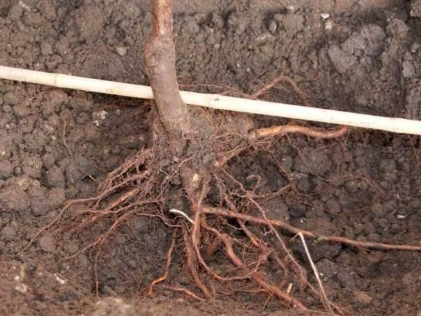 Когда и как посадить грушу осенью в подмосковье