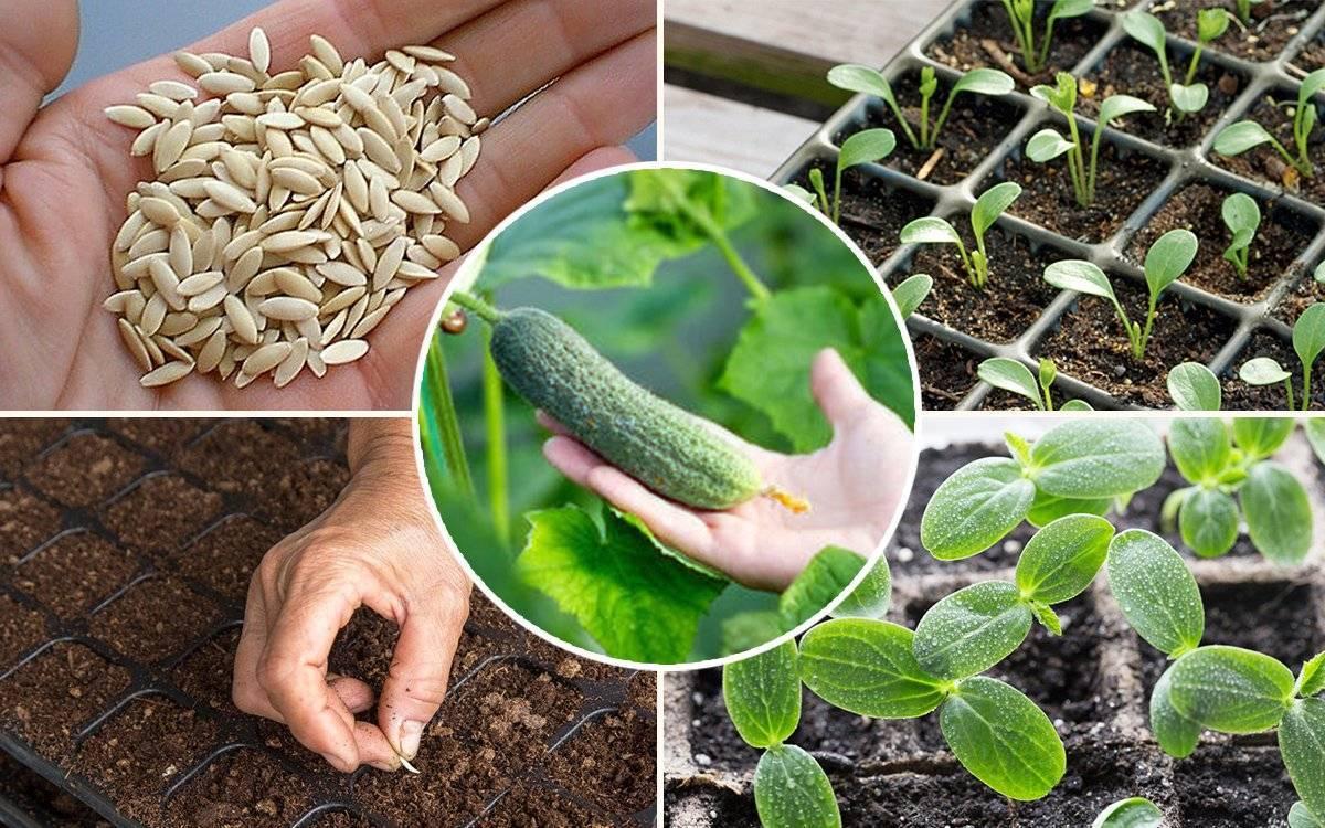 Как сажать огурцы в грунт семенами. 9 важных правил!