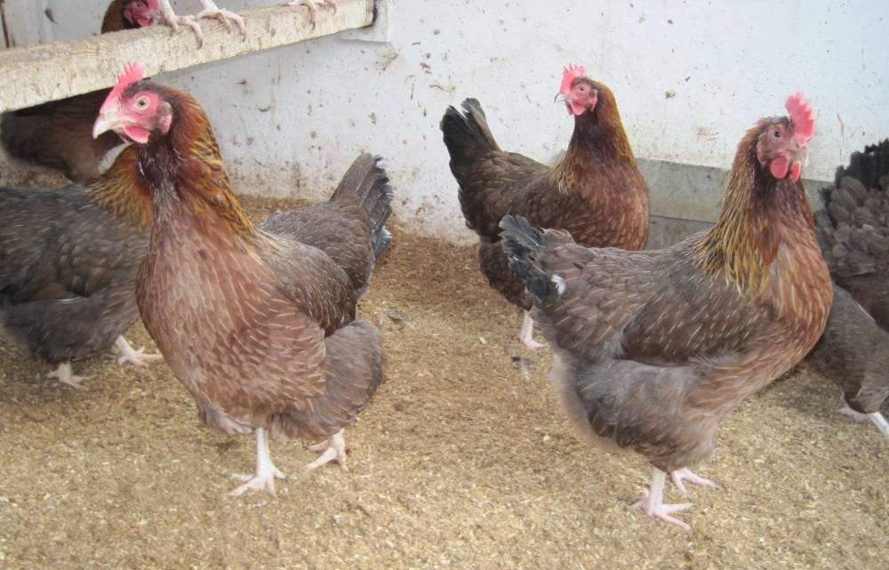 Вельзумер: порода кур