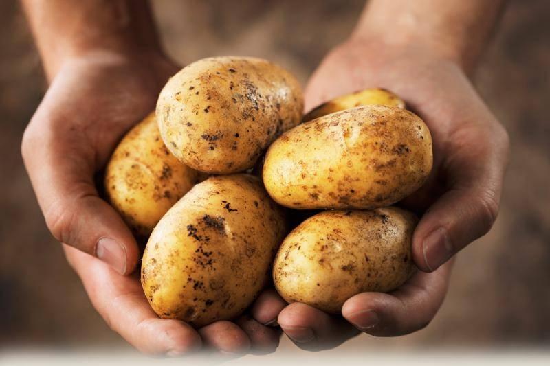 Сорт картофеля адретта: его характеристика и правила выращивания