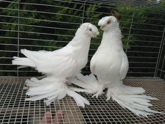 Андижанские голуби (19 фото): характеристика породы, правила содержания