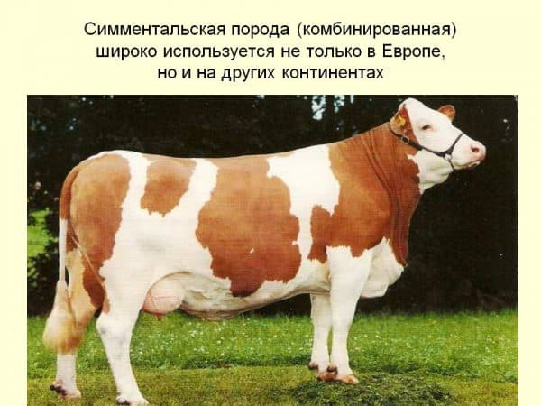 Симментальская корова: условия и перспективы разведения