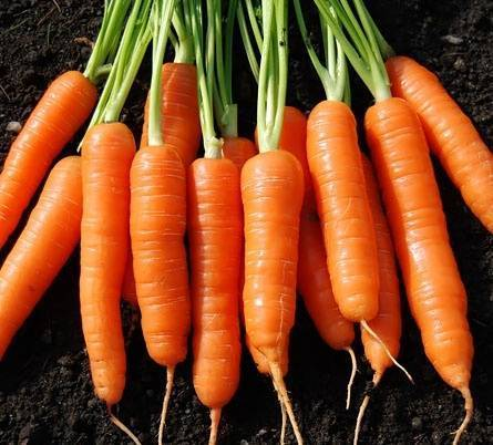 Какая бывает морковь – все о сортах и их использовании в кулинарии