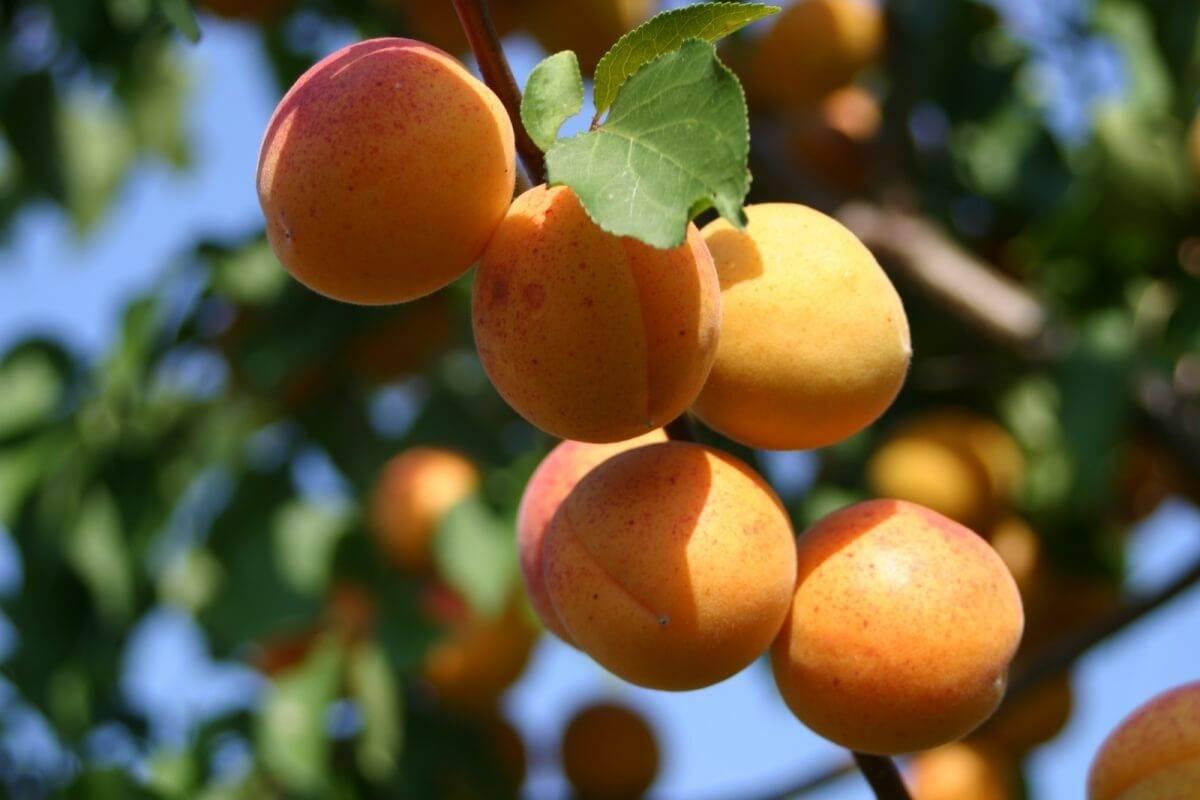 Выращивание абрикосов на урале в открытом грунте, описание зимостойких сортов и уход