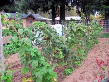 8 правил ухода за ремонтантной малиной: гарантия отличного урожая