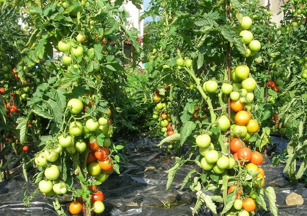 Как формировать куст помидоров советы и рекомендации