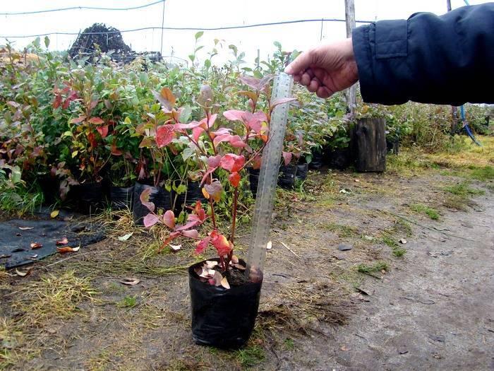 Осенний уход за садовой голубикой — все секреты подготовки к зиме