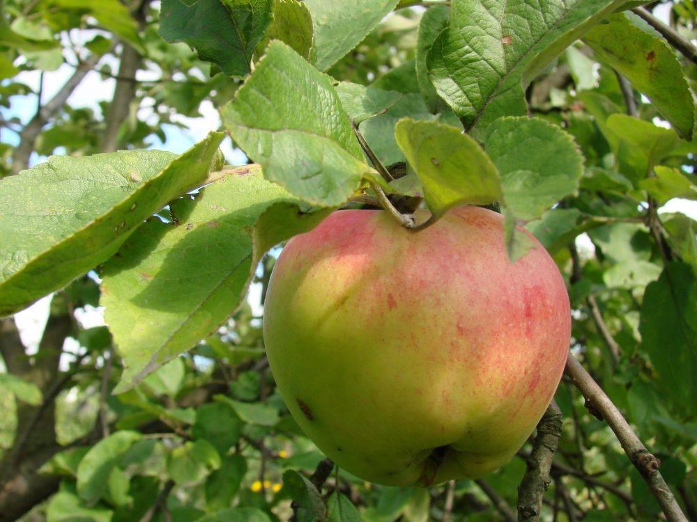 Характеристика сорта яблок антоновка: особенности посадки, уход, разновидности