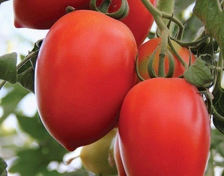Описание и характеристика сорта томата каспар