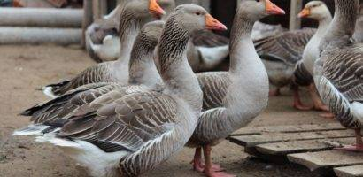 Породы гусей: разновидности, обзор, выбор, уход