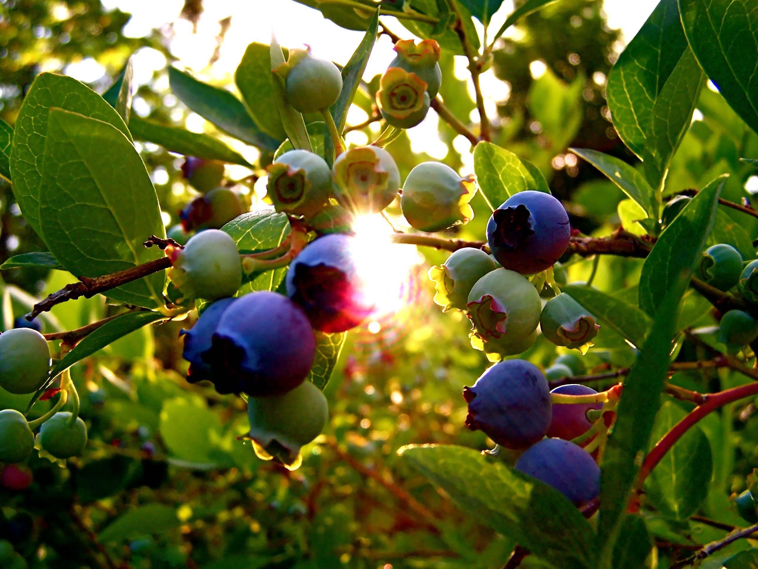 Голубика — описание, полезные и вредные свойства, состав, калорийность, рецепты