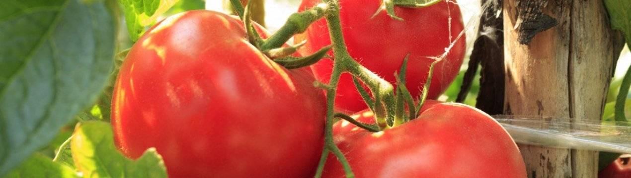 Томат загадка: отзывы и фото, характеристика и описание урожайного сорта