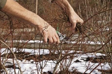 Обрезка голубики осенью, весной для начинающих, схемы