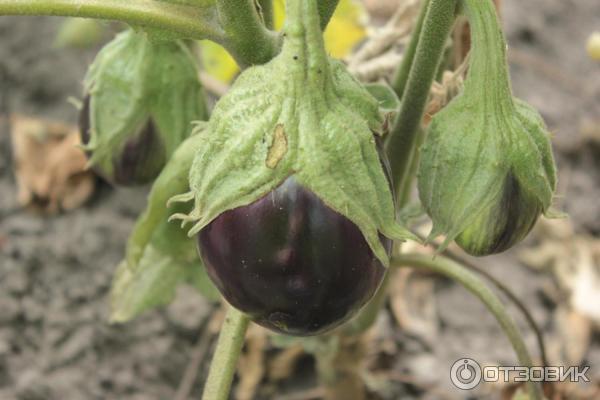 Томат бычий лоб: описание сорта, характеристика, фото, отзывы, урожайность