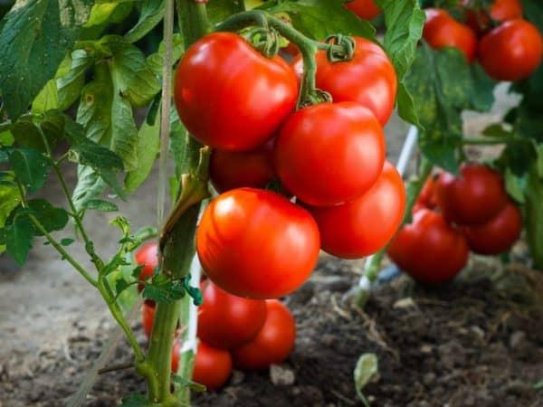 Томат фатима: описание сорта, характеристики, особенности выращивания