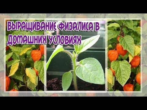 Физалис: выращивание из семян, фото, посадка и уход в открытом грунте