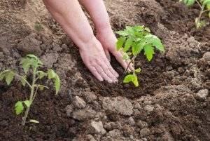 Высадка рассады помидоров в открытый грунт: сроки и правила пересадки