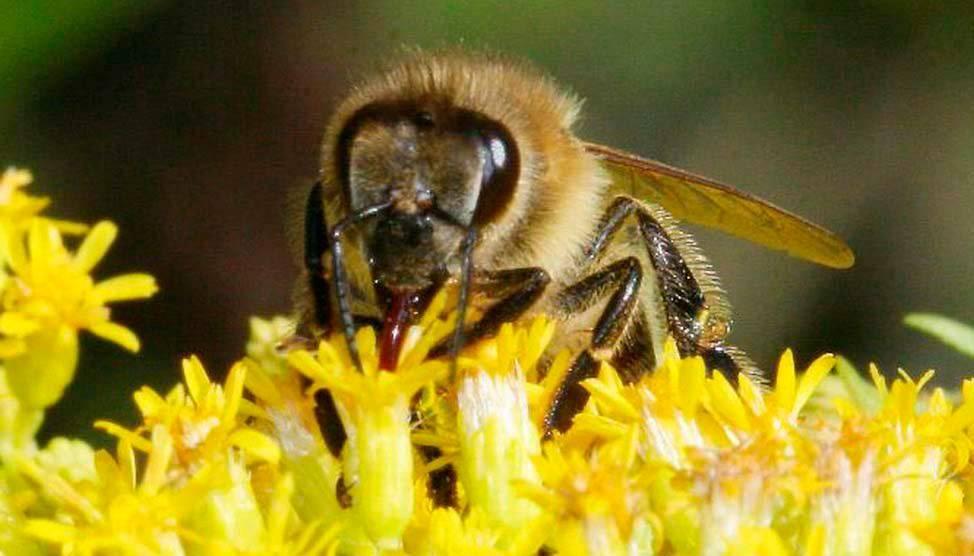 Пчелиная пыльца