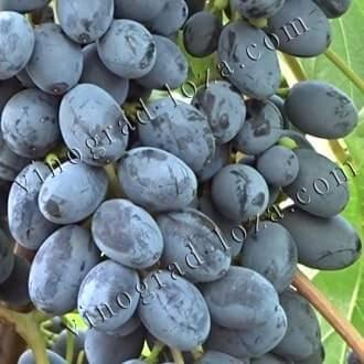 Очень ранний сорт с массой плюсов: виноград кишмиш 342