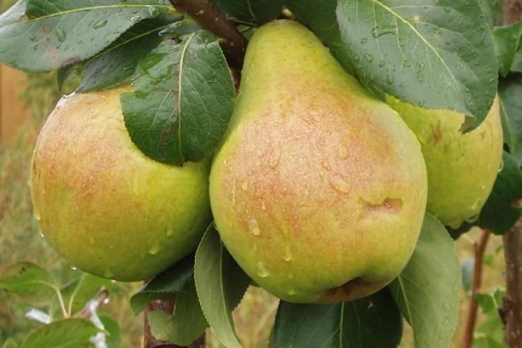 Груша велеса –популярный и любимый многими садоводами сорт