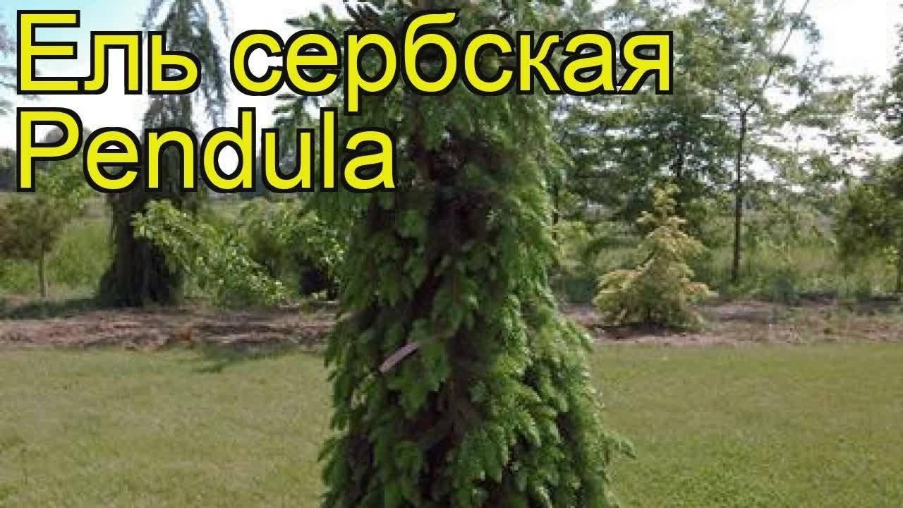 Ель сербская: фото и описание