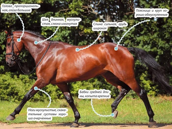 Голштинская (порода лошадей)