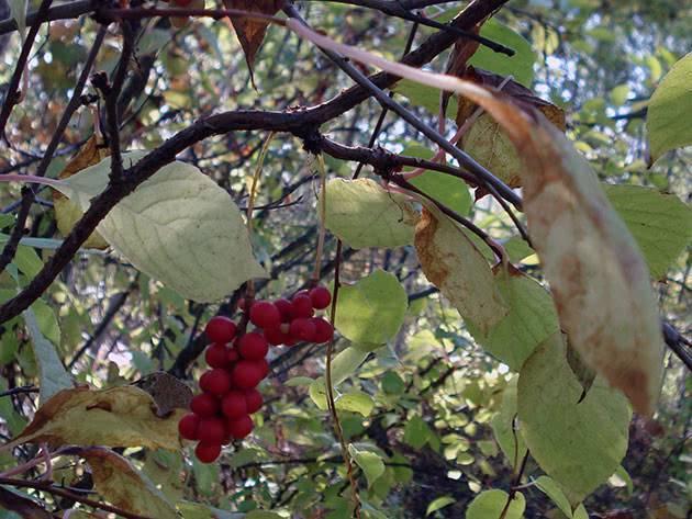 Лимонник крымский полезные свойства и противопоказания