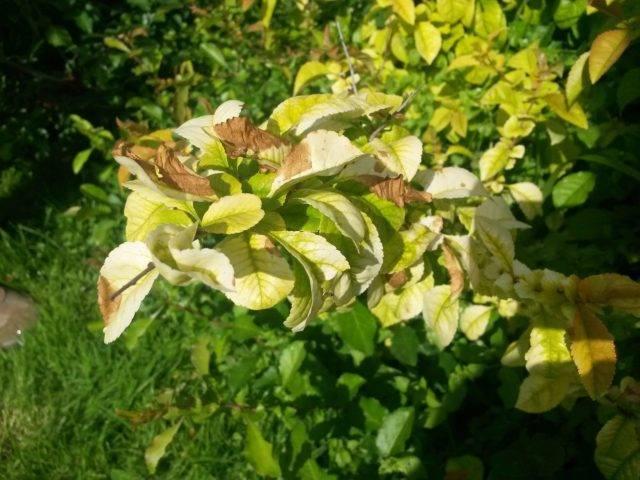 У гортензии сохнут листья: причины и решение проблемы