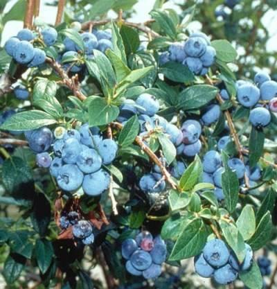 Голубика Блюрей (Блю Рей, Blue Ray): описание сорта, фото, отзывы