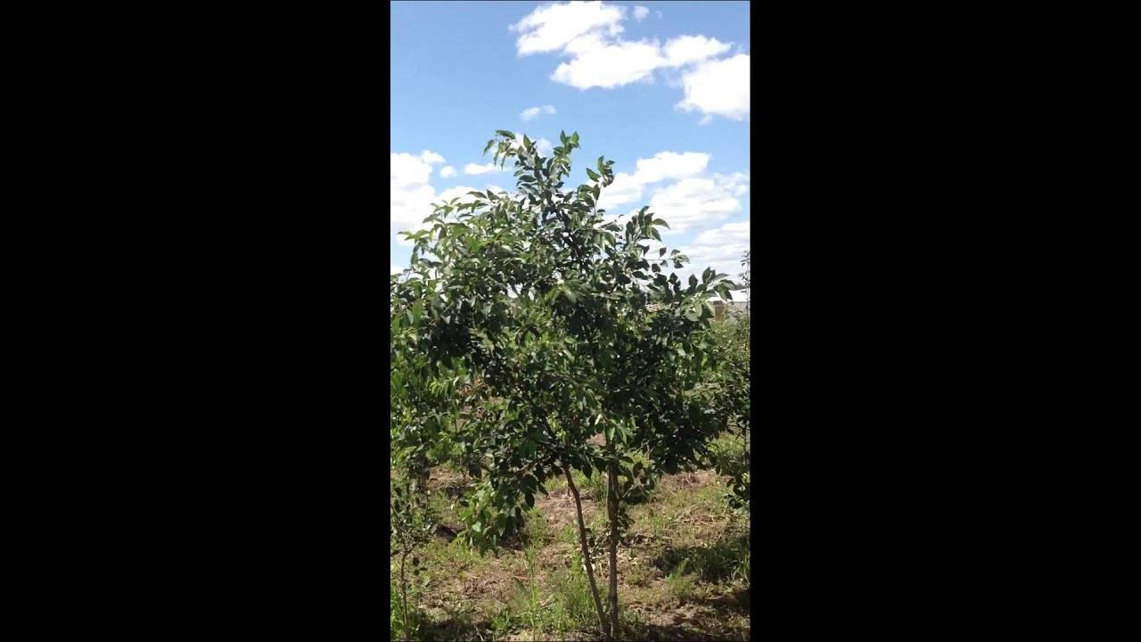 Как вырастить тургеневку: секреты отличного урожая