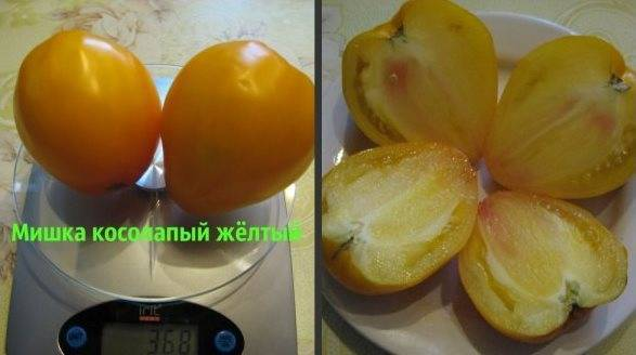 Обзор сорта томата мишка косолапый и инструкция по его выращиванию