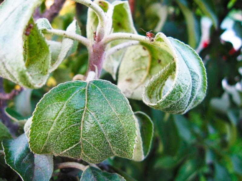 Почему чернеют листья у груши, как лечить