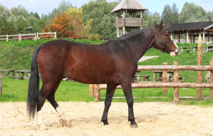 Башкирская лошадь — википедия. что такое башкирская лошадь