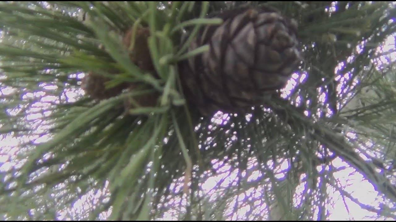 Кедровое дерево — описание, выращивание, виды кедра и его полезные свойства + 77 фото