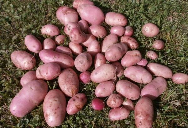Картофель сорта колетте — «чипсоеды» оценят по достоинству!