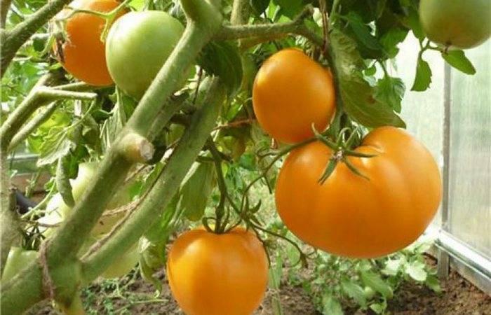 Характеристика и описание сорта томата сахарная настасья, его урожайность
