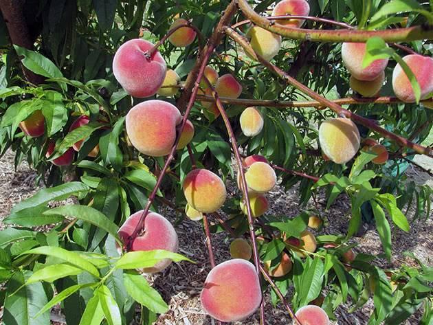 Причины развития болезней персиков и способы их лечения
