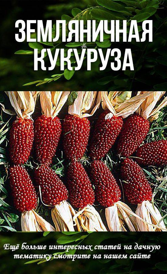Кукуруза земляничная: выращивание из семян, фото