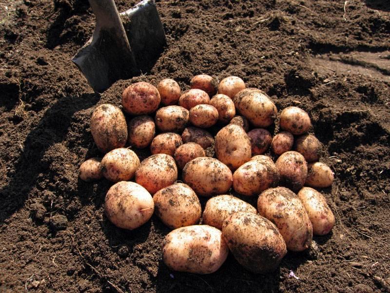 Белорусский сорт картофеля «скарб»: характеристика, описание, урожайность, отзывы и фото