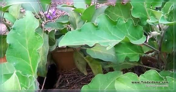 Баклажан робин гуд – характеристика сорта с фото, выращивание