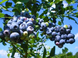 Голубика высокорослая блюголд (голд блю, bluegold): описание сорта, фото, отзывы