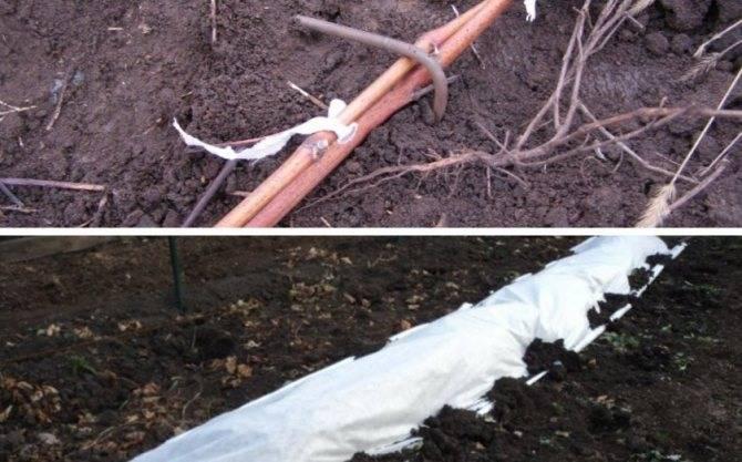 Выращивание и уход за голубикой