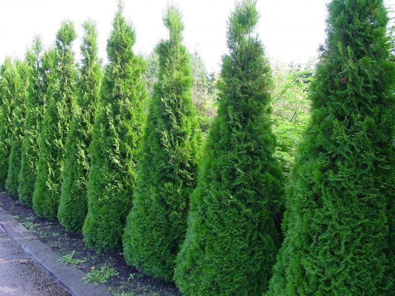 Какие растения выбрать для живой изгороди: кустарники, тую или ель?