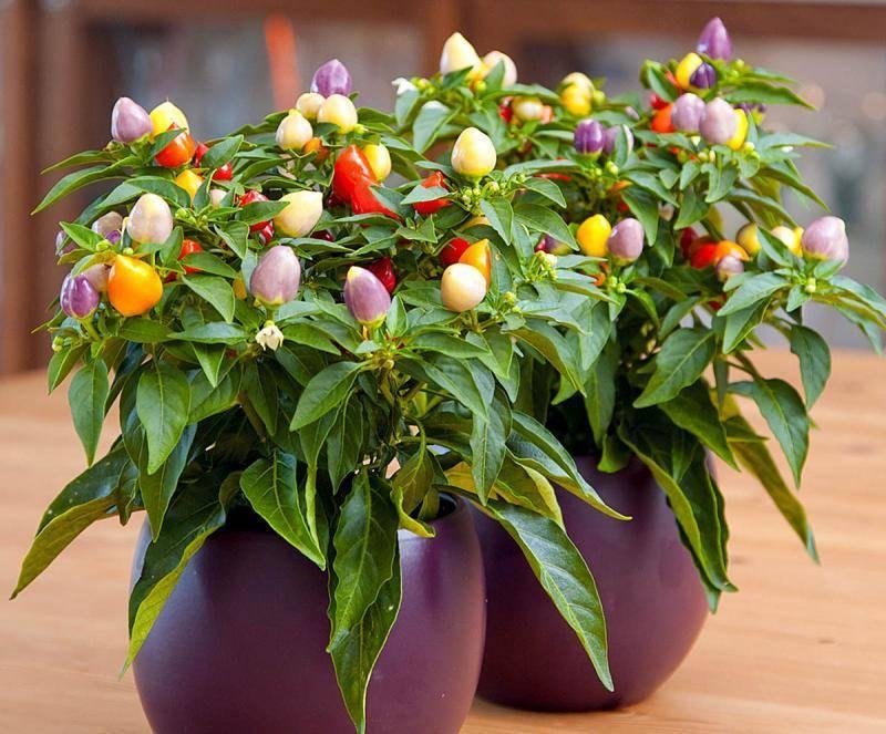 Перец декоративный выращиваем дома