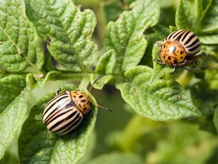 Все самое важное о препарате табу от колорадского жука