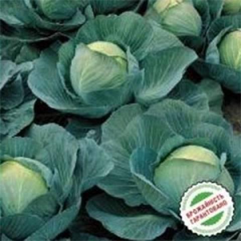 Характеристика капусты сорта атрия f1